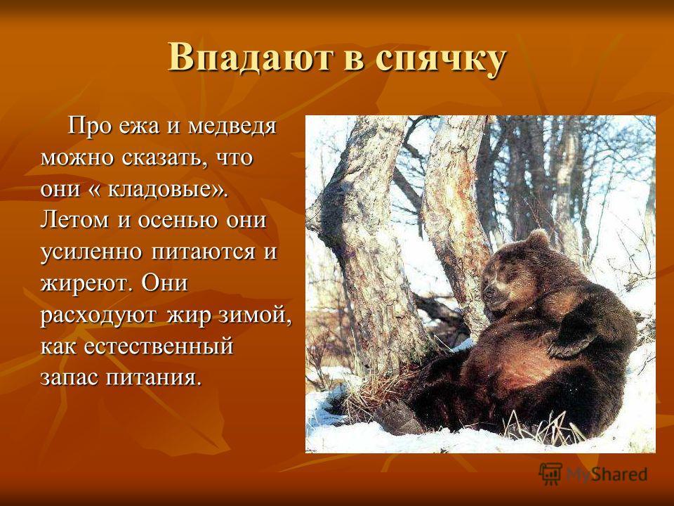 Впадают в спячку Про ежа и медведя можно сказать, что они « кладовые». Летом и осенью они усиленно питаются и жиреют. Они расходуют жир зимой, как естественный запас питания. Про ежа и медведя можно сказать, что они « кладовые». Летом и осенью они ус