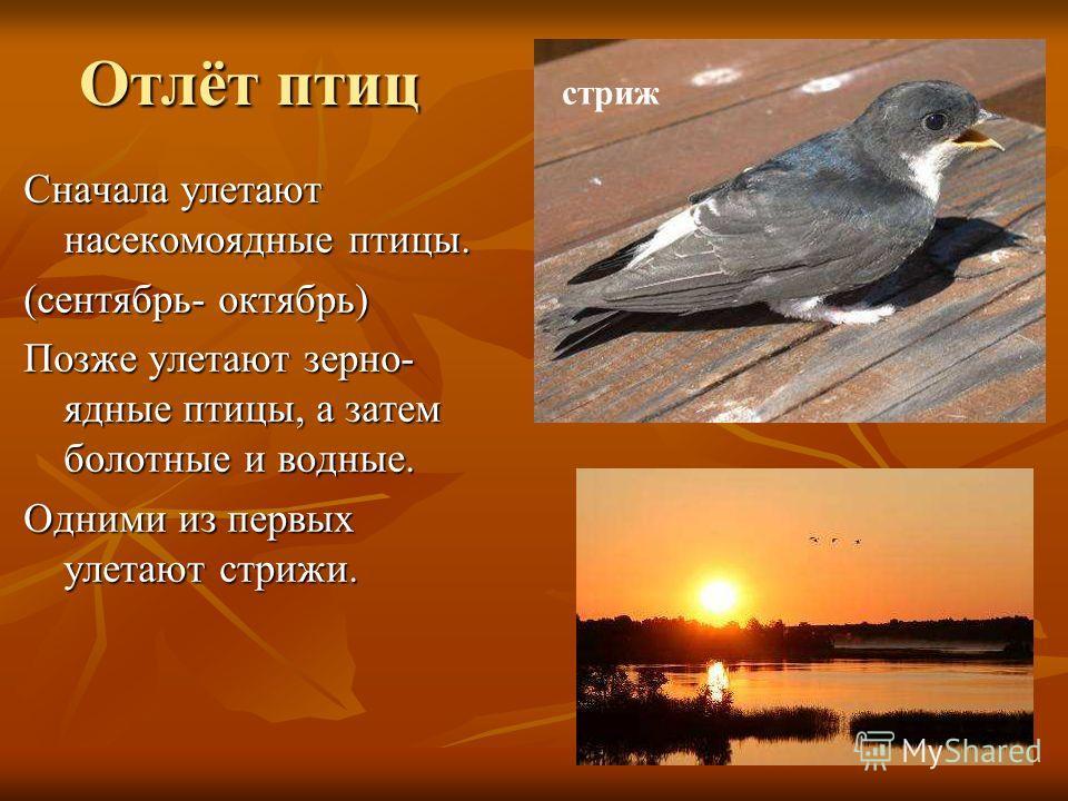 Отлёт птиц Сначала улетают насекомоядные птицы. (сентябрь- октябрь) Позже улетают зерно- ядные птицы, а затем болотные и водные. Одними из первых улетают стрижи. стриж