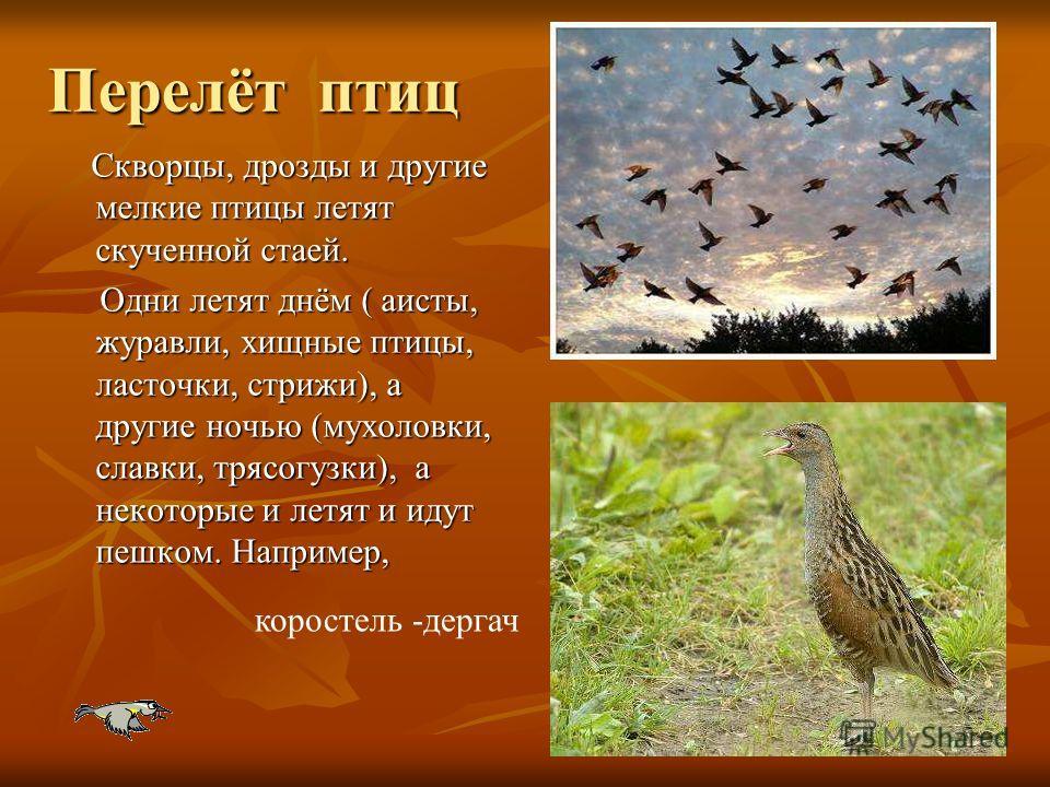 Перелёт птиц Скворцы, дрозды и другие мелкие птицы летят скученной стаей. Скворцы, дрозды и другие мелкие птицы летят скученной стаей. Одни летят днём ( аисты, журавли, хищные птицы, ласточки, стрижи), а другие ночью (мухоловки, славки, трясогузки),