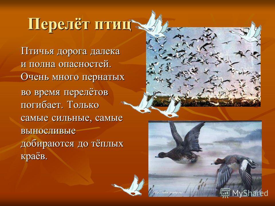 Перелёт птиц Птичья дорога далека и полна опасностей. Очень много пернатых Птичья дорога далека и полна опасностей. Очень много пернатых во время перелётов погибает. Только самые сильные, самые выносливые добираются до тёплых краёв. во время перелёто