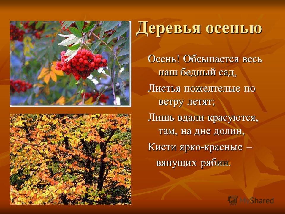 Деревья осенью Деревья осенью Осень! Обсыпается весь наш бедный сад, Листья пожелтелые по ветру летят; Лишь вдали красуются, там, на дне долин, Кисти ярко-красные – вянущих рябин. вянущих рябин.