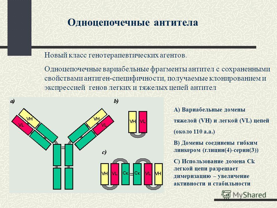 Одноцепочечные антитела Новый класс генотерапевтических агентов. Одноцепочечные вариабельные фрагменты антител с сохраненными свойствами антиген-специфичности, получаемые клонированием и экспрессией генов легких и тяжелых цепей антител А) Вариабельны