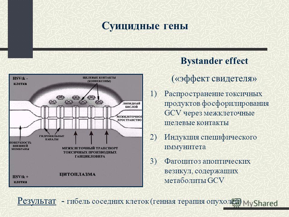 Bystander effect («эффект свидетеля» 1)Распространение токсичных продуктов фосфорилирования GCV через межклеточные щелевые контакты 2)Индукция специфического иммунитета 3)Фагоцитоз апоптических везикул, содержащих метаболиты GCV Результат - гибель со