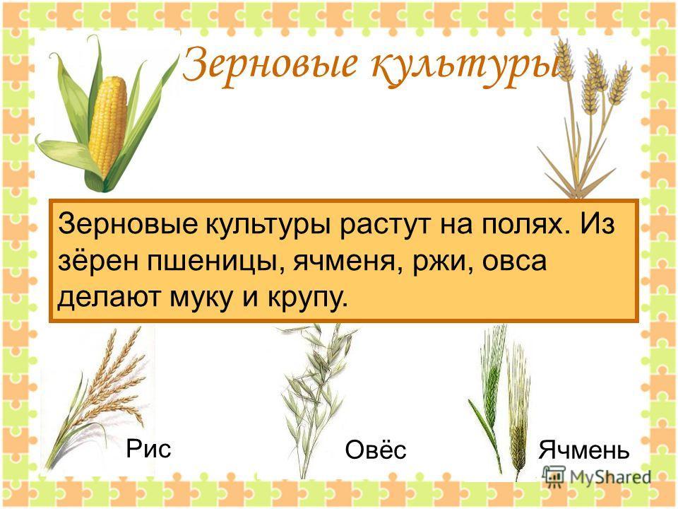 Зерновые культуры Зерновые культуры растут на полях. Из зёрен пшеницы, ячменя, ржи, овса делают муку и крупу. Рис ОвёсЯчмень