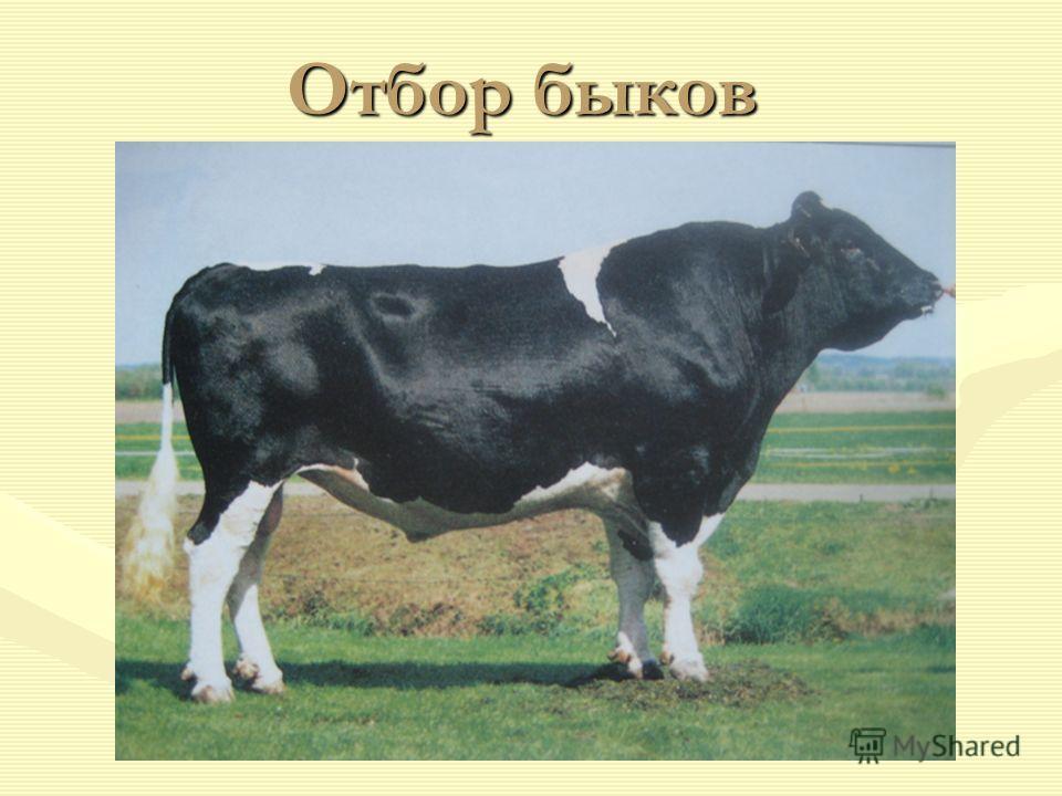Отбор быков