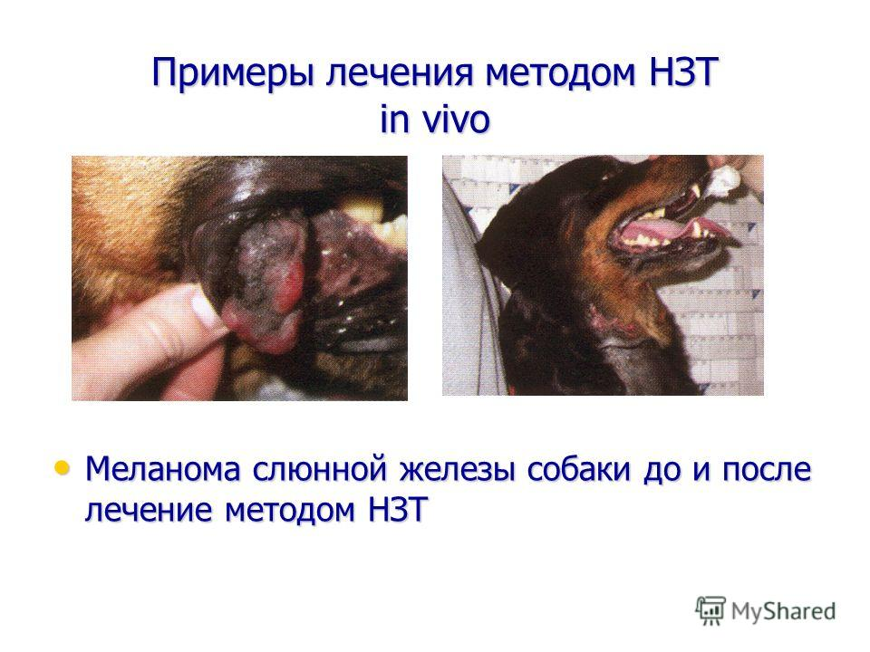Примеры лечения методом НЗТ in vivo Меланома слюнной железы собаки до и после лечение методом НЗТ Меланома слюнной железы собаки до и после лечение методом НЗТ