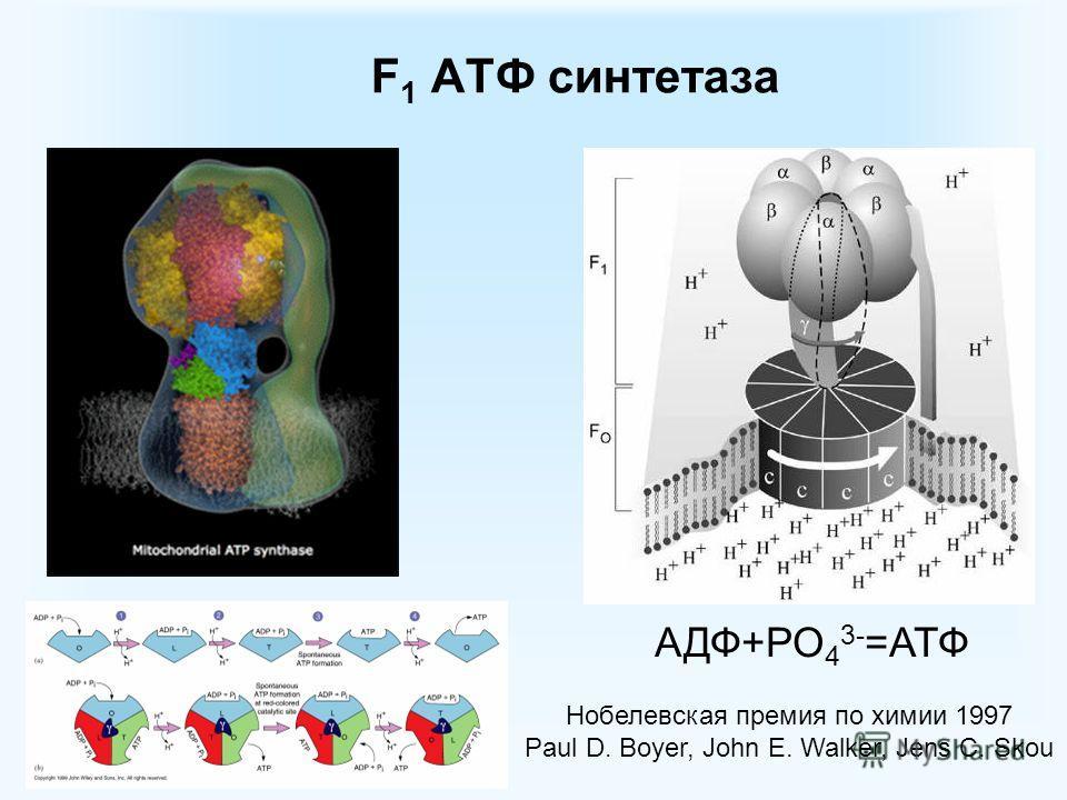 F 1 ATФ синтетаза АДФ+РО 4 3- =АТФ Нобелевская премия по химии 1997 Paul D. Boyer, John E. Walker, Jens C. Skou