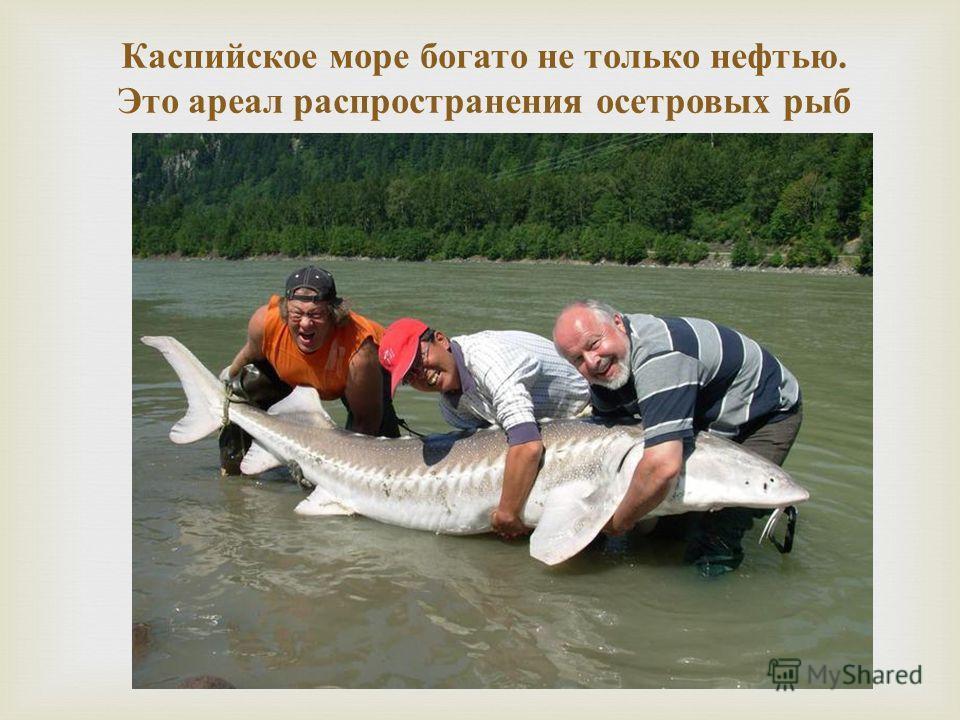Каспийское море богато не только нефтью. Это ареал распространения осетровых рыб