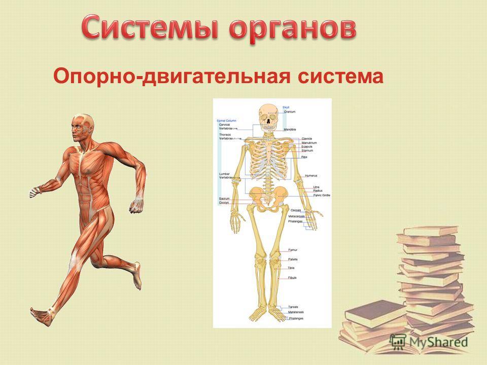 почки- расположены в задней части брюшной полости, под рёбрами, по одной с каждой стороны. По форме почка похожа на фасолину. Практически вся наша кровь рано или поздно попадает в почки. Почки забирают у неё некоторое количество воды, вредные веществ