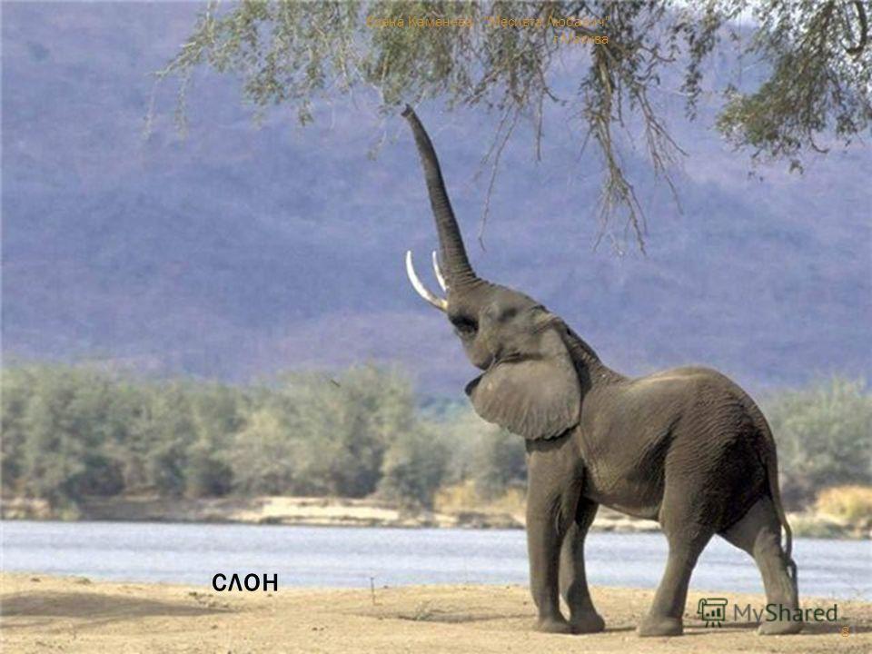 тапир слон 8 Елена Каменева Месивта Любавич г.Москва