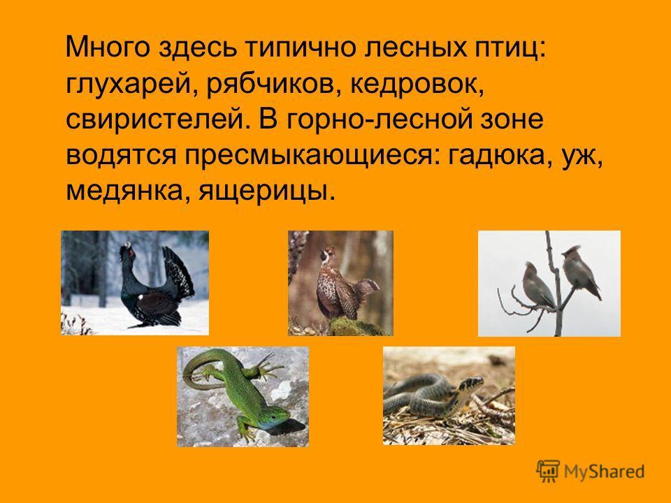Много здесь типично лесных птиц: глухарей, рябчиков, кедровок, свиристелей. В горно-лесной зоне водятся пресмыкающиеся: гадюка, уж, медянка, ящерицы.