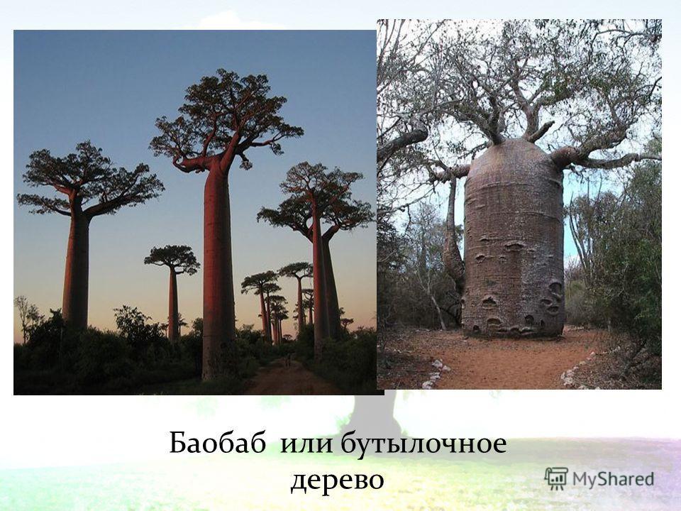 Баобаб или бутылочное дерево