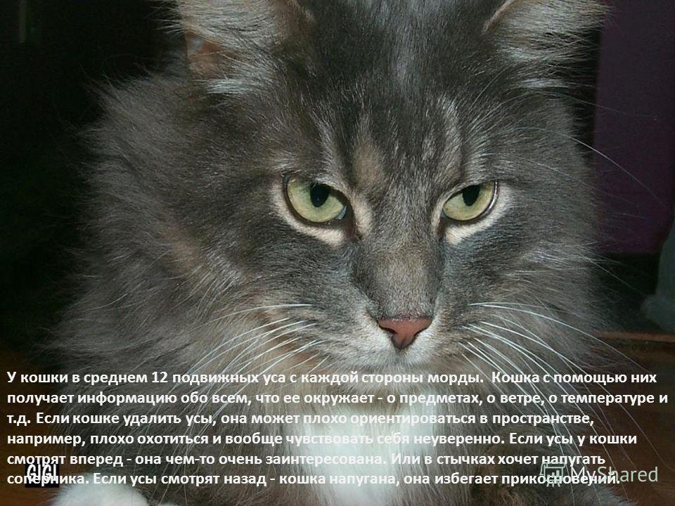 У кошки в среднем 12 подвижных уса с каждой стороны морды. Кошка с помощью них получает информацию обо всем, что ее окружает - о предметах, о ветре, о температуре и т.д. Если кошке удалить усы, она может плохо ориентироваться в пространстве, например