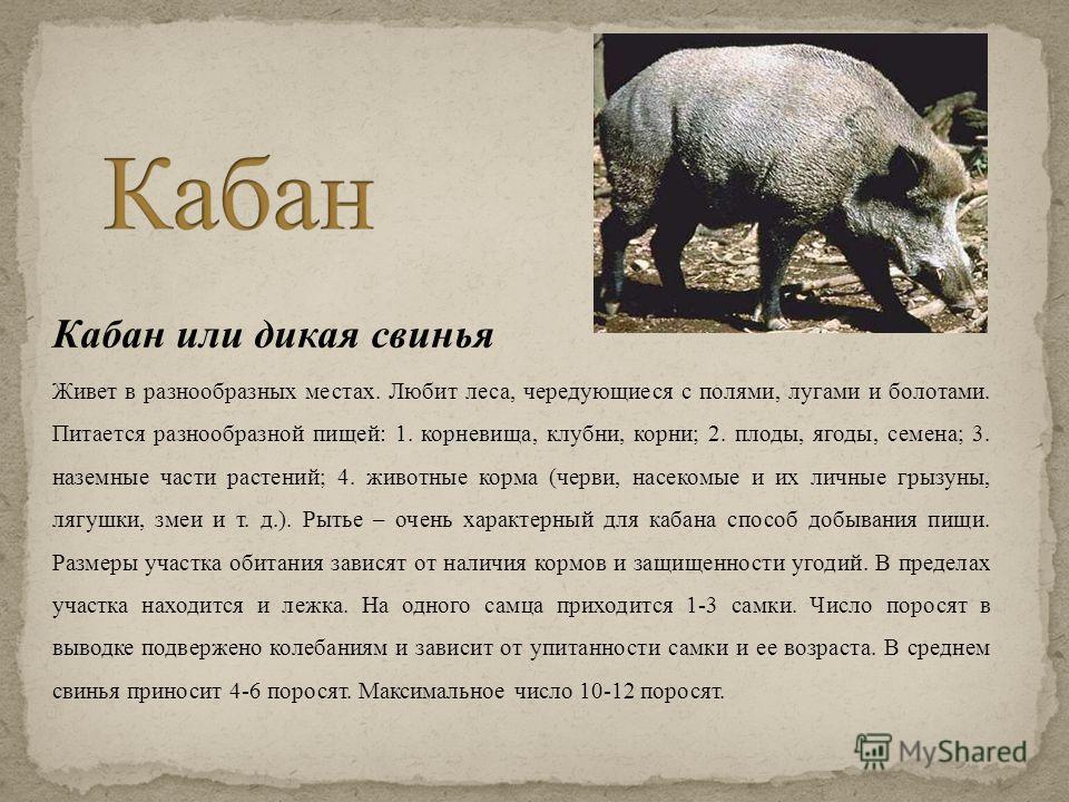 Кабан или дикая свинья Живет в разнообразных местах. Любит леса, чередующиеся с полями, лугами и болотами. Питается разнообразной пищей: 1. корневища, клубни, корни; 2. плоды, ягоды, семена; 3. наземные части растений; 4. животные корма (черви, насек