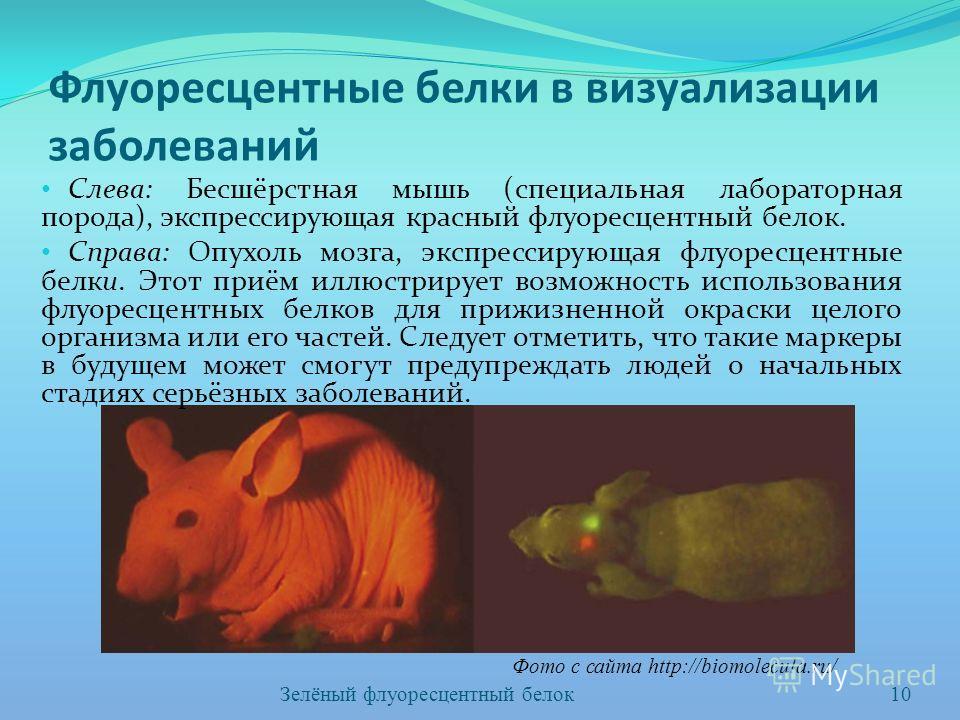 Флуоресцентные белки в визуализации заболеваний Слева: Бесшёрстная мышь (специальная лабораторная порода), экспрессирующая красный флуоресцентный белок. Справа: Опухоль мозга, экспрессирующая флуоресцентные белки. Этот приём иллюстрирует возможность