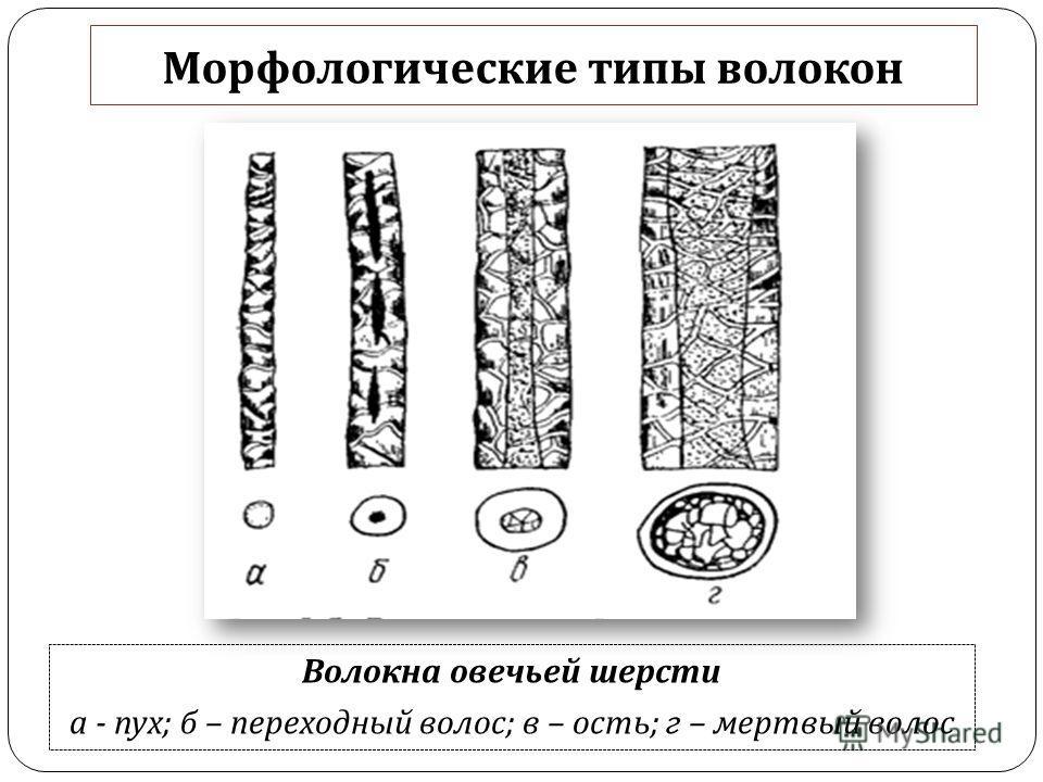 Морфологические типы волокон Волокна овечьей шерсти а - пух ; б – переходный волос ; в – ость ; г – мертвый волос