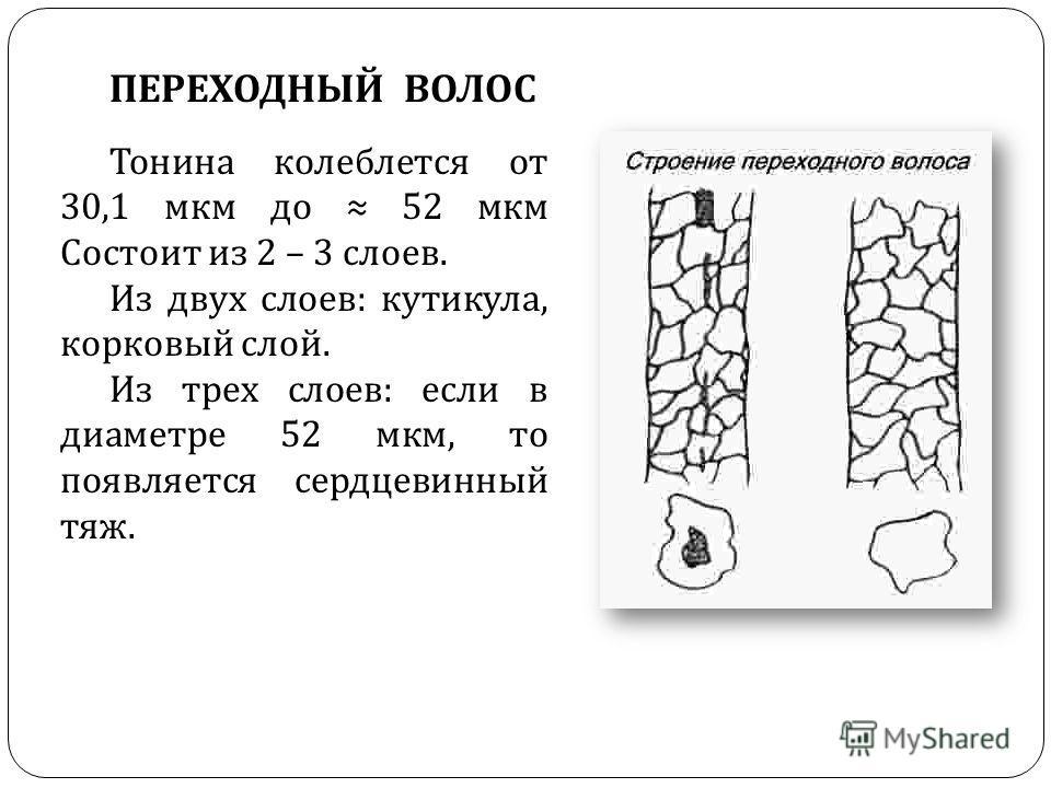 ПЕРЕХОДНЫЙ ВОЛОС Тонина колеблется от 30,1 мкм до 52 мкм Состоит из 2 – 3 слоев. Из двух слоев : кутикула, корковый слой. Из трех слоев : если в диаметре 52 мкм, то появляется сердцевинный тяж.