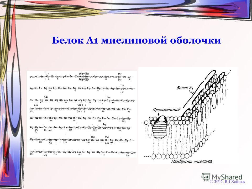 Белок А1 миелиновой оболочки © 2007, В.Г.Зайцев