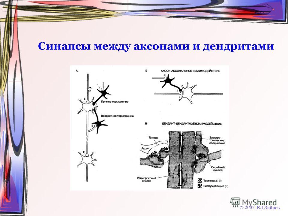 Синапсы между аксонами и дендритами © 2007, В.Г.Зайцев