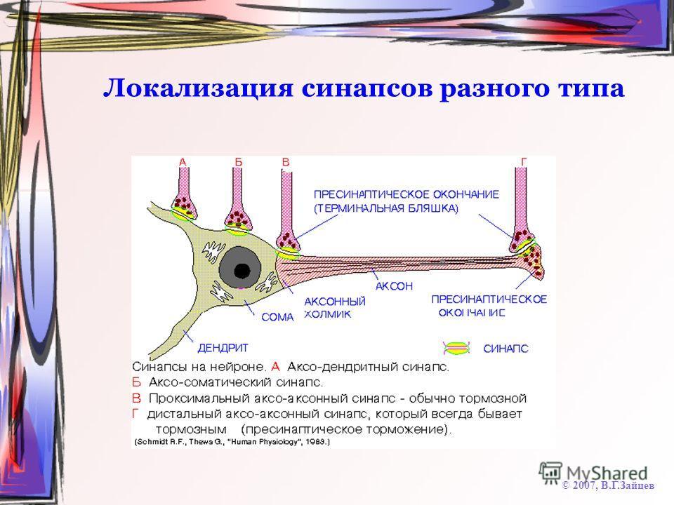 Локализация синапсов разного типа © 2007, В.Г.Зайцев