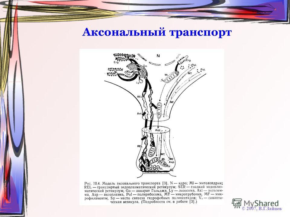 Аксональный транспорт © 2007, В.Г.Зайцев