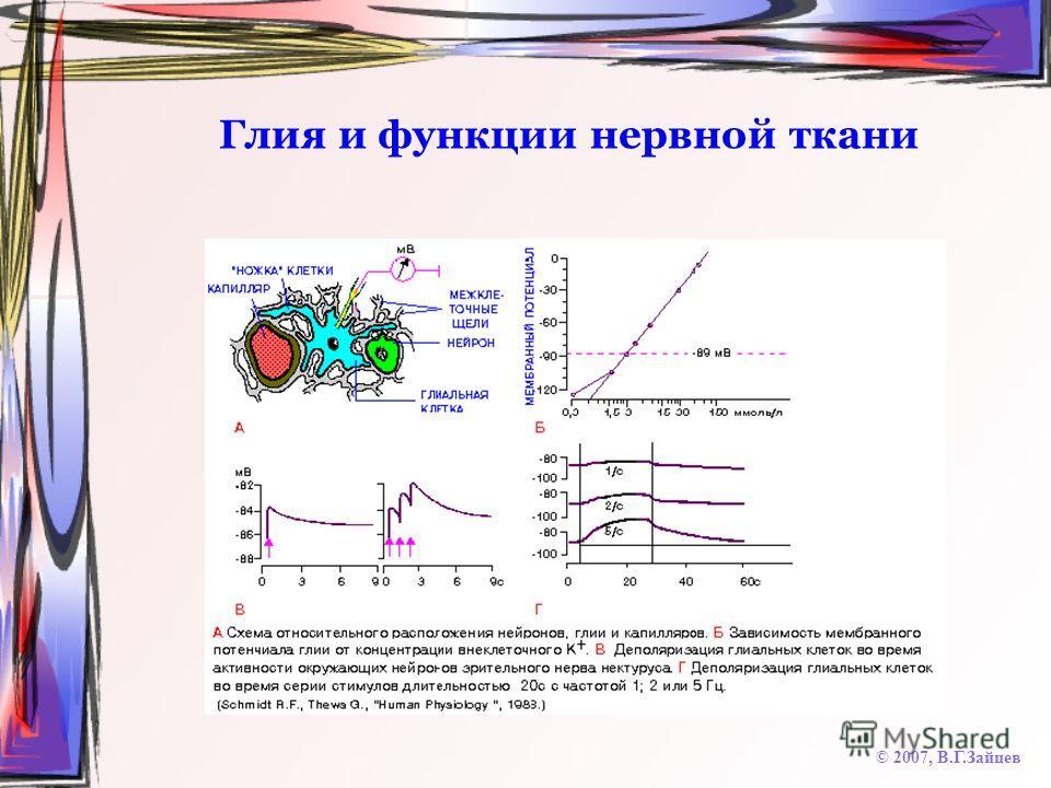 Глия и функции нервной ткани © 2007, В.Г.Зайцев