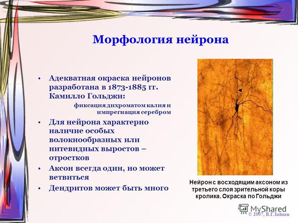 Морфология нейрона Адекватная окраска нейронов разработана в 1873-1885 гг. Камилло Гольджи: фиксация дихроматом калия и импрегнация серебром Для нейрона характерно наличие особых волокнообразных или нитевидных выростов – отростков Аксон всегда один,