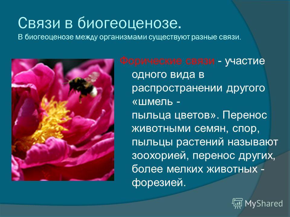 Связи в биогеоценозе. В биогеоценозе между организмами существуют разные связи. Форические связи - участие одного вида в распространении другого «шмель - пыльца цветов». Перенос животными семян, спор, пыльцы растений называют зоохорией, перенос други