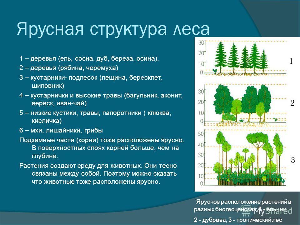 Ярусная структура леса 1 – деревья (ель, сосна, дуб, береза, осина). 2 – деревья (рябина, черемуха) 3 – кустарники- подлесок (лещина, бересклет, шиповник) 4 – кустарнички и высокие травы (багульник, аконит, вереск, иван-чай) 5 – низкие кустики, травы