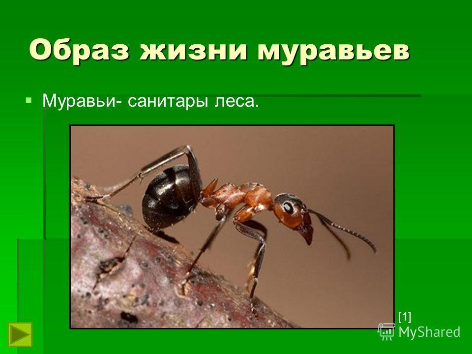 Образ жизни муравьев Муравьи- санитары леса. [1][1]