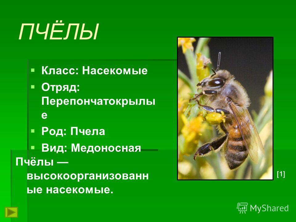 ПЧЁЛЫ Класс: Насекомые Отряд: Перепончатокрылы е Род: Пчела Вид: Медоносная Пчёлы высокоорганизованн ые насекомые. [1]