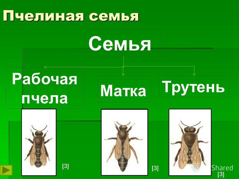 Пчелиная семья Семья Матка Трутень Рабочая пчела [3]