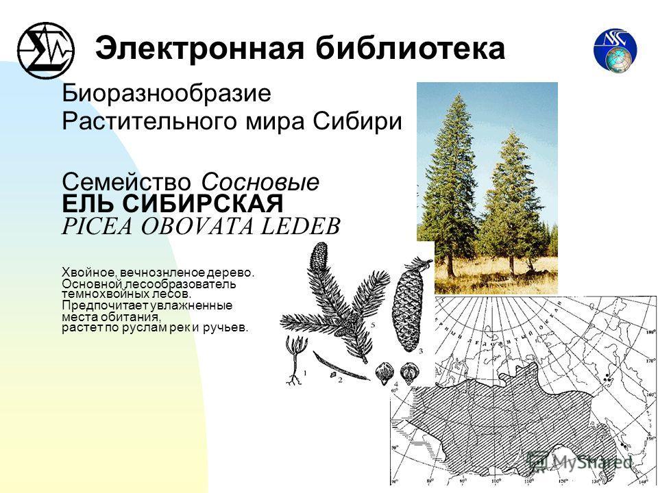 Биоразнообразие Растительного мира Сибири Семейство Сосновые ЕЛЬ СИБИРСКАЯ PICEA OBOVATA LEDEB Хвойное, вечнознленое дерево. Основной лесообразователь темнохвойных лесов. Предпочитает увлажненные места обитания, растет по руслам рек и ручьев. Электро