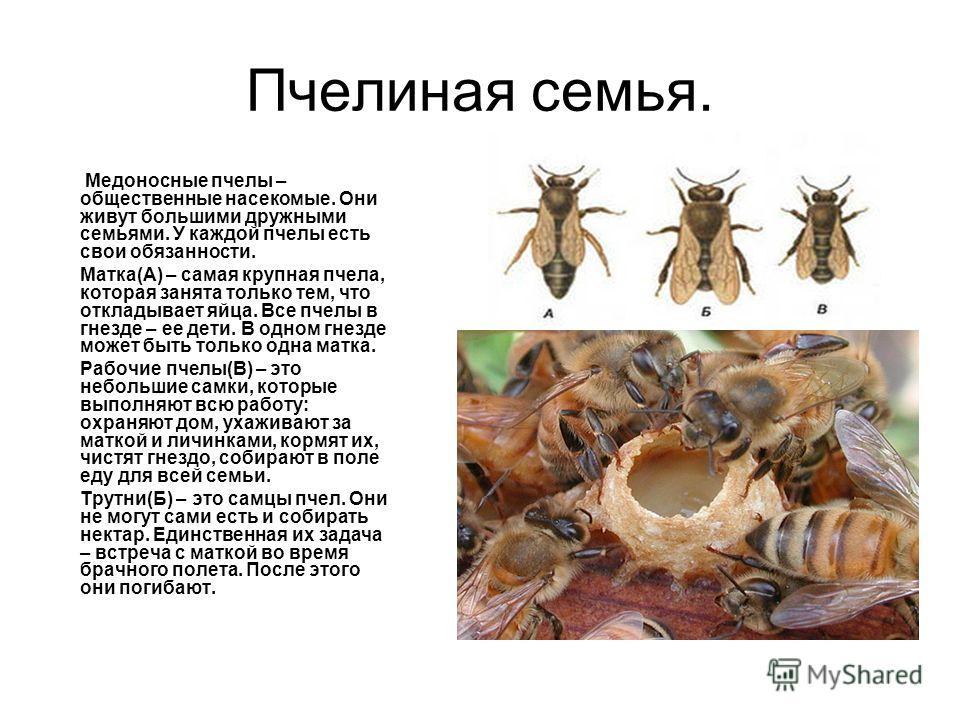 Пчелиная семья. Медоносные пчелы – общественные насекомые. Они живут большими дружными семьями. У каждой пчелы есть свои обязанности. Матка(А) – самая крупная пчела, которая занята только тем, что откладывает яйца. Все пчелы в гнезде – ее дети. В одн