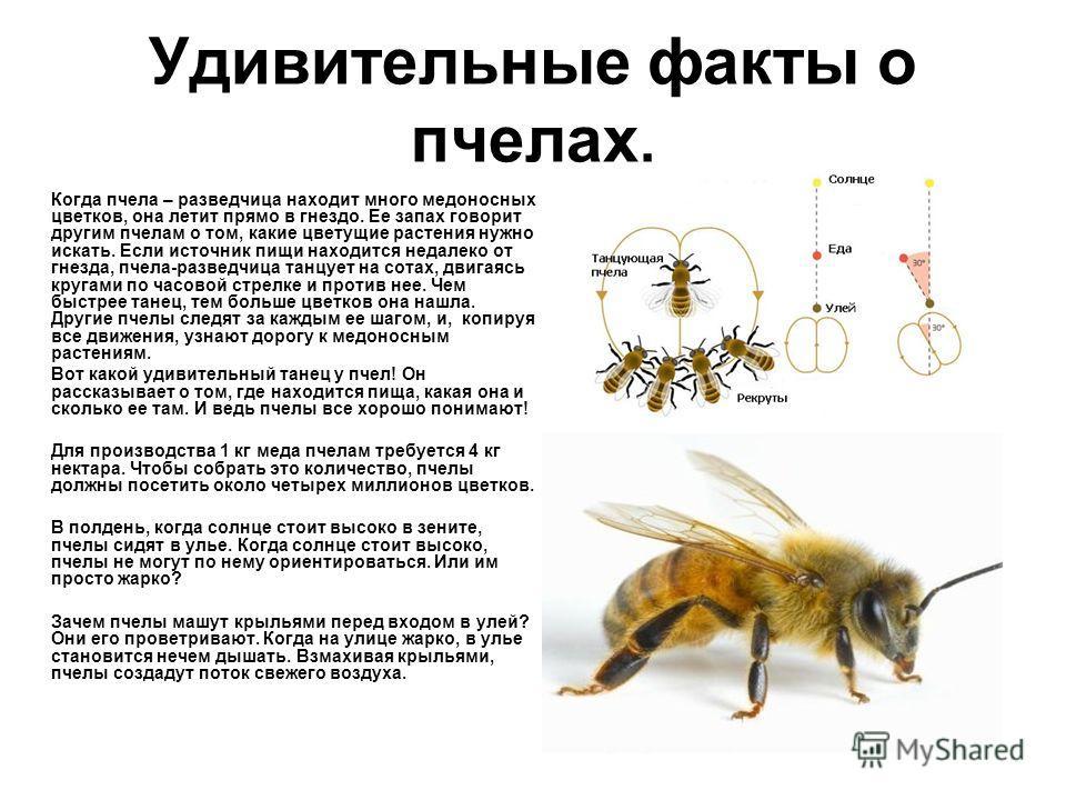 Удивительные факты о пчелах. Когда пчела – разведчица находит много медоносных цветков, она летит прямо в гнездо. Ее запах говорит другим пчелам о том, какие цветущие растения нужно искать. Если источник пищи находится недалеко от гнезда, пчела-разве