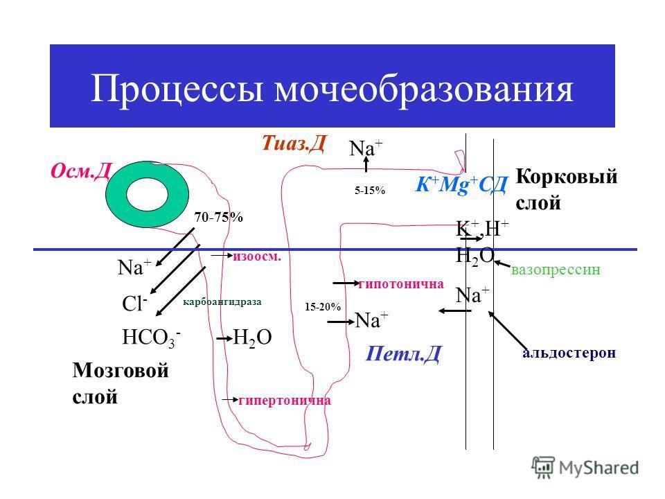Процессы мочеобразования Nа+Nа+ Cl - HCO 3 - карбоангидраза 70-75% изоосм. Н2ОН2О гипертонична Nа+Nа+ 15-20% Мозговой слой Корковый слой гипотонична Nа+Nа+ 5-15% Осм.Д Петл.Д Тиаз.Д К + Мg + CД K +,H + H 2 O Na + альдостерон вазопрессин