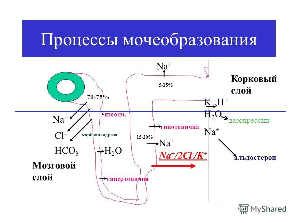 Процессы мочеобразования Nа+Nа+ Cl - HCO 3 - карбоангидраза 70-75% изоосм. Н2ОН2О гипертонична Nа+Nа+ 15-20% Мозговой слой Корковый слой гипотонична Nа+Nа+ 5-15% K +,H + H 2 O Na + альдостерон вазопрессин Na + /2Cl - /K +