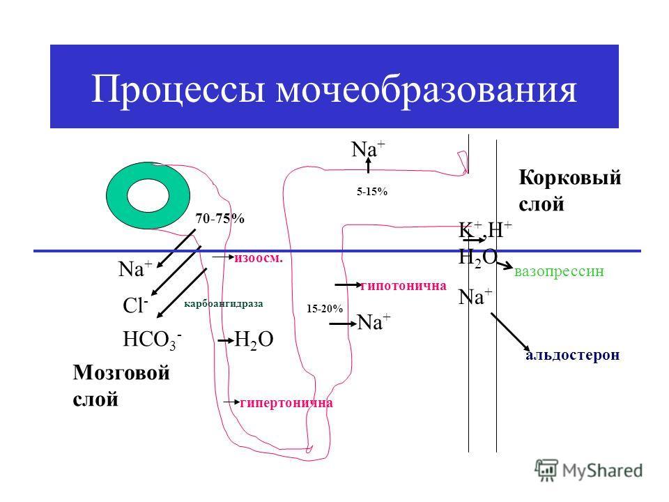 Процессы мочеобразования Nа+Nа+ Cl - HCO 3 - карбоангидраза 70-75% изоосм. Н2ОН2О гипертонична Nа+Nа+ 15-20% Мозговой слой Корковый слой гипотонична Nа+Nа+ 5-15% K +,H + H 2 O Na + альдостерон вазопрессин