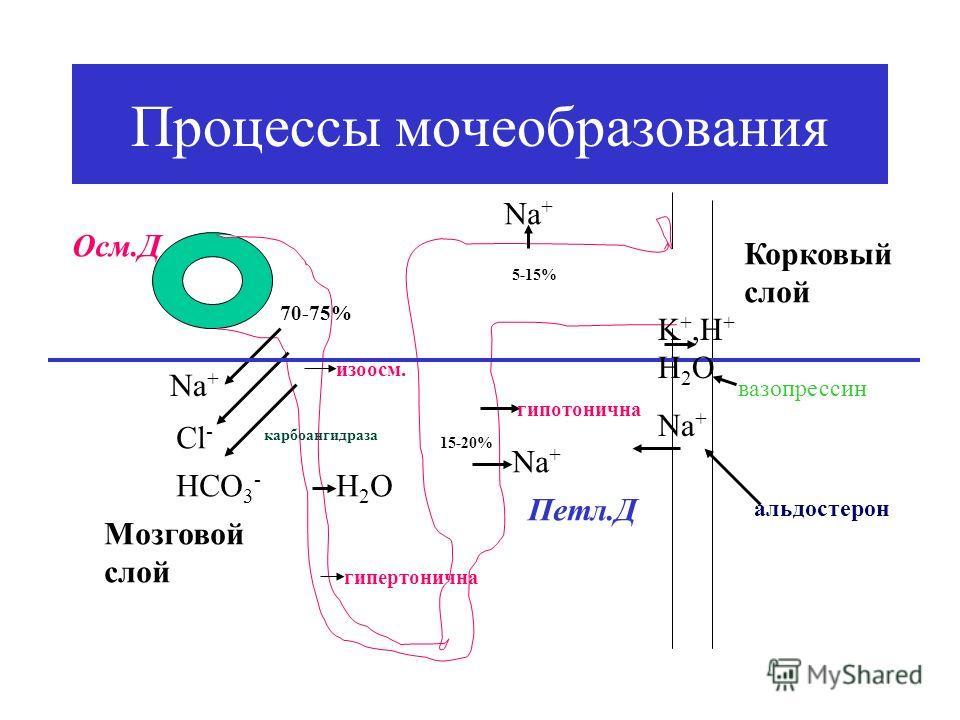 Процессы мочеобразования Nа+Nа+ Cl - HCO 3 - карбоангидраза 70-75% изоосм. Н2ОН2О гипертонична Nа+Nа+ 15-20% Мозговой слой Корковый слой гипотонична Nа+Nа+ 5-15% Осм.Д Петл.Д K +,H + H 2 O Na + альдостерон вазопрессин