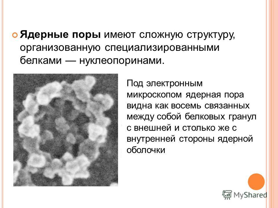 Ядерные поры имеют сложную структуру, организованную специализированными белками нуклеопоринами. Под электронным микроскопом ядерная пора видна как восемь связанных между собой белковых гранул с внешней и столько же с внутренней стороны ядерной оболо