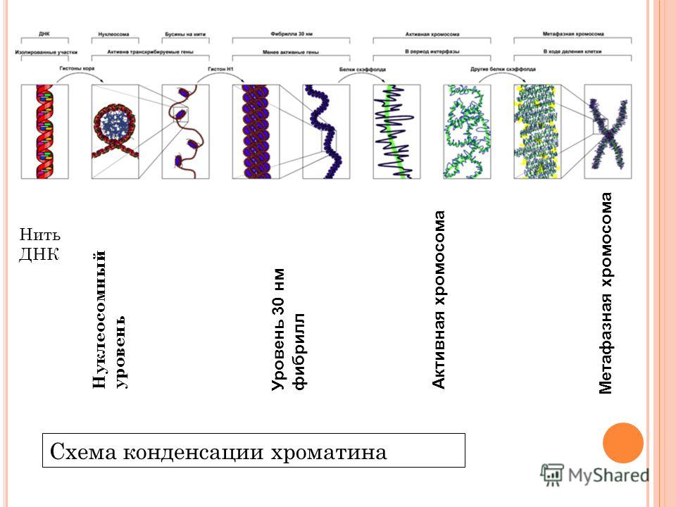 НитьДНК Нуклеосомный уровень Уровень 30 нм фибрилл Метафазная хромосома Активная хромосома Схема конденсации хроматина