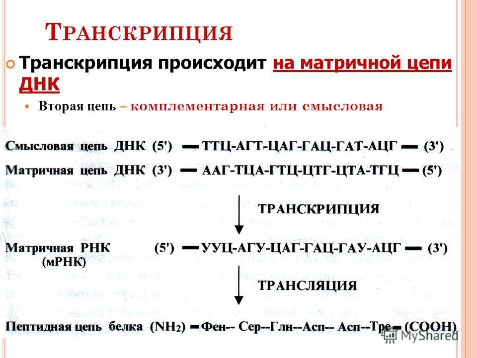 Т РАНСКРИПЦИЯ Транскрипция происходит на матричной цепи ДНК Вторая цепь Вторая цепь – комплементарная или смысловая