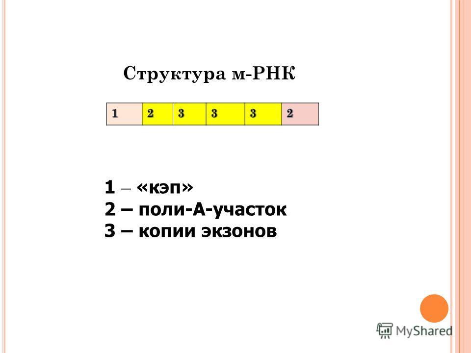 Структура м-РНК 1 – «кэп» 2 – поли-А-участок 3 – копии экзонов