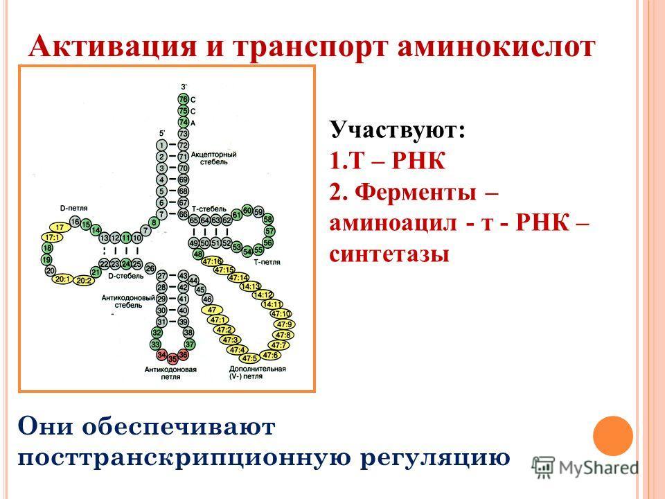 Активация и транспорт аминокислот Участвуют: 1.Т – РНК 2. Ферменты – аминоацил - т - РНК – синтетазы Они обеспечивают посттранскрипционную регуляцию