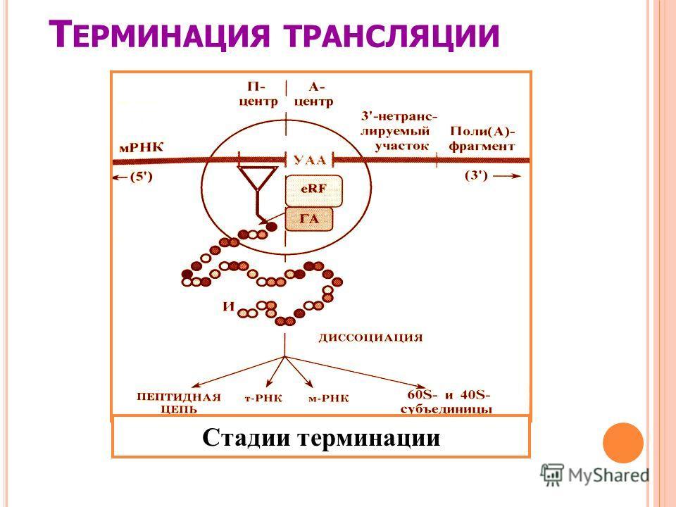 Т ЕРМИНАЦИЯ ТРАНСЛЯЦИИ Стадии терминации