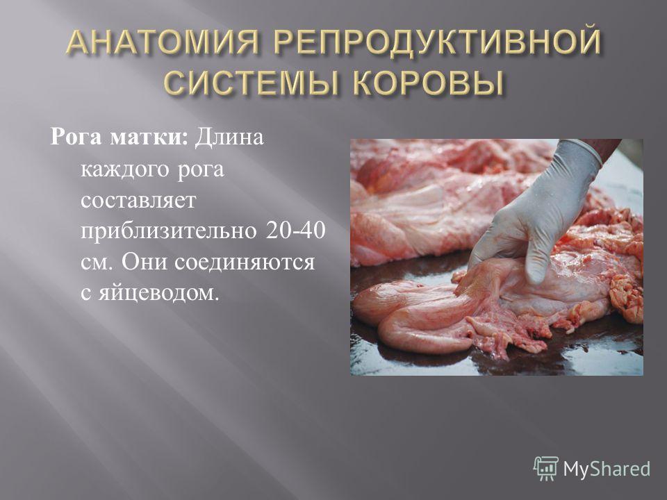 Рога матки : Длина каждого рога составляет приблизительно 20-40 см. Они соединяются с яйцеводом.