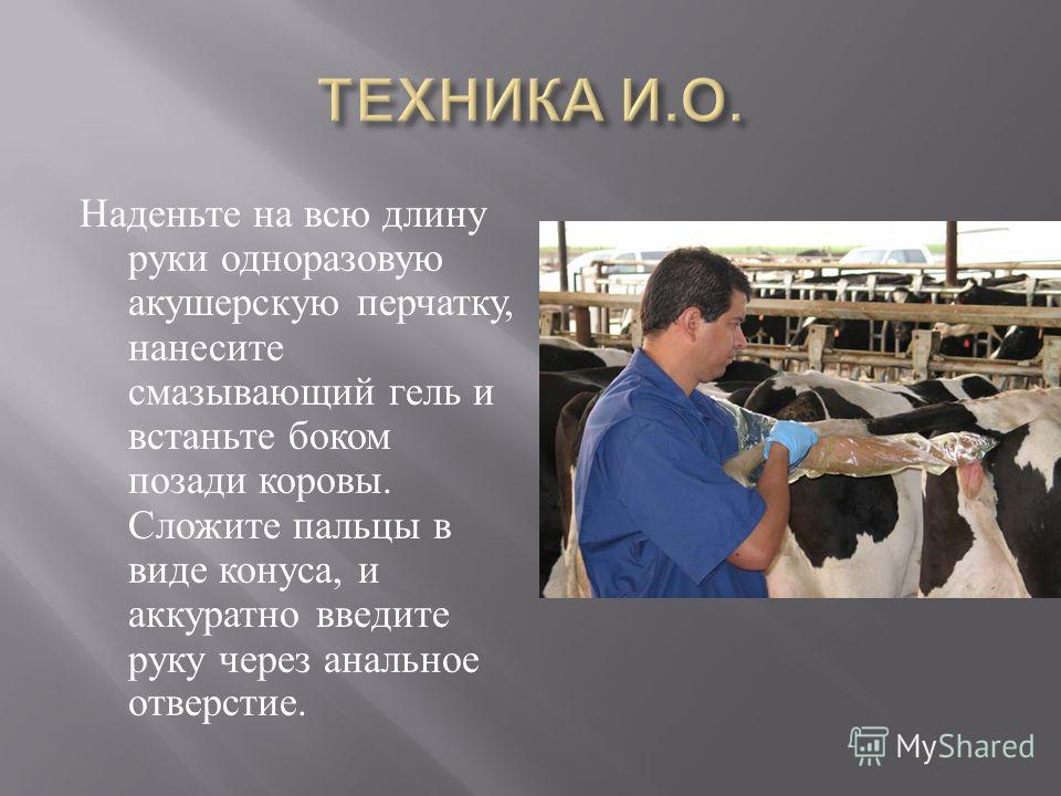 Наденьте на всю длину руки одноразовую акушерскую перчатку, нанесите смазывающий гель и встаньте боком позади коровы. Сложите пальцы в виде конуса, и аккуратно введите руку через анальное отверстие.