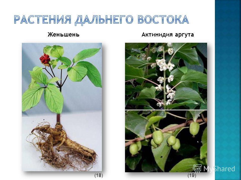 Актинидия аргута Женьшень (18)(19)