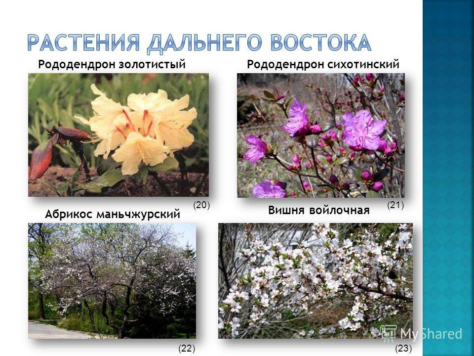Рододендрон золотистыйРододендрон сихотинский Вишня войлочная Абрикос маньчжурский (20)(21) (22)(23)