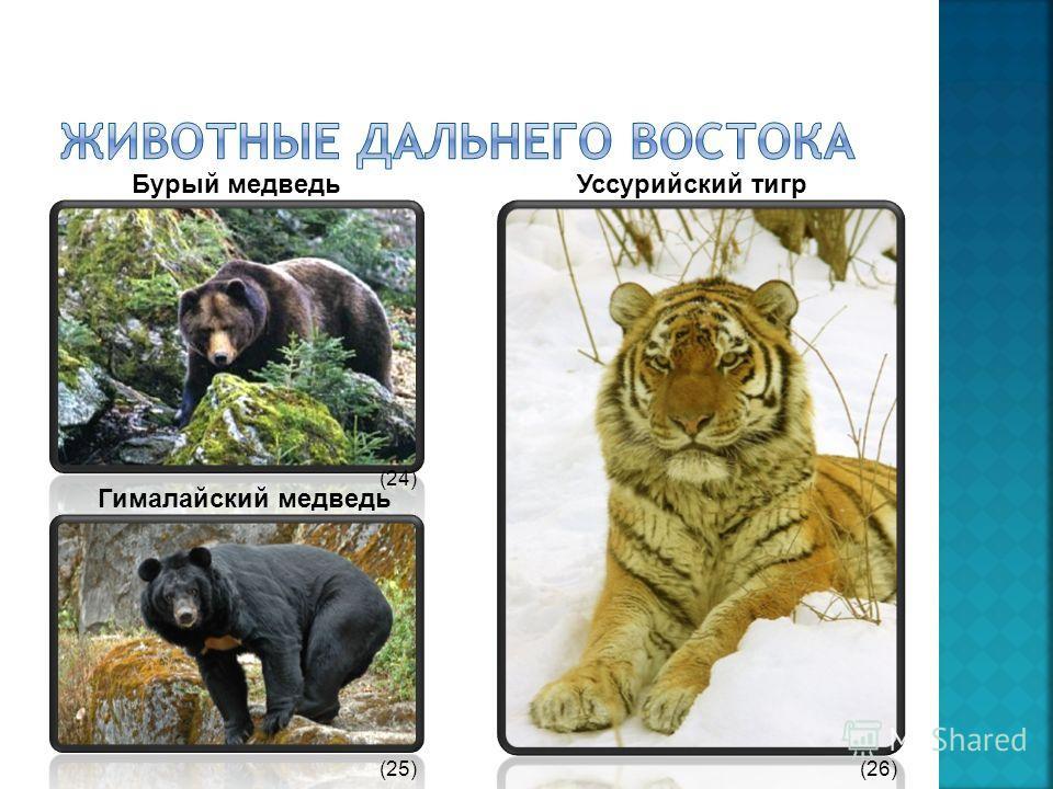 Бурый медведь Гималайский медведь Уссурийский тигр (24) (25)(26)